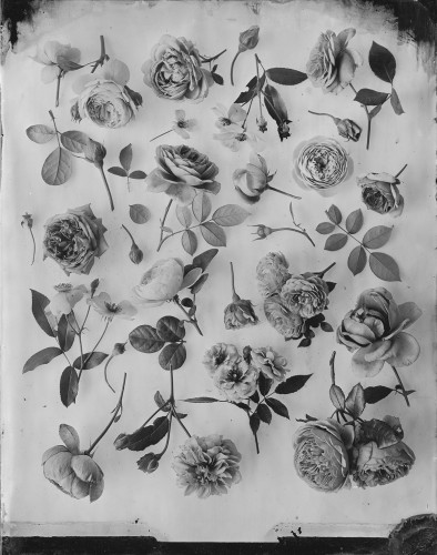 OVO Things Silver Print Rose Garden, Mid August